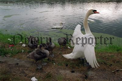 R0030004 Swans