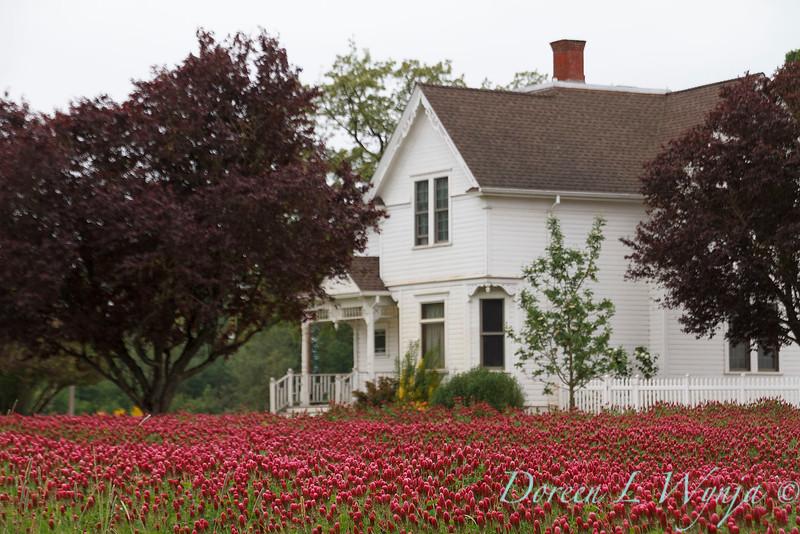 Trifolium incarnatum crimson clover field - white farm house_4375.jpg