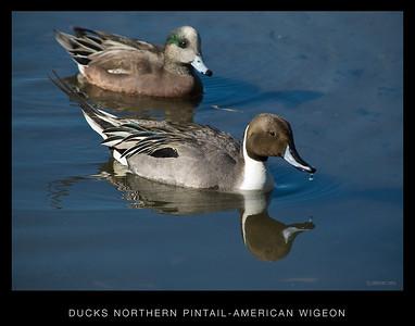 Back Bay Ducks, Grebe, Scaup, Teals.