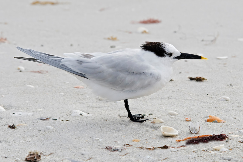 Tern - Sandwich - Blind Pass - Sanibel Island, FL - 03
