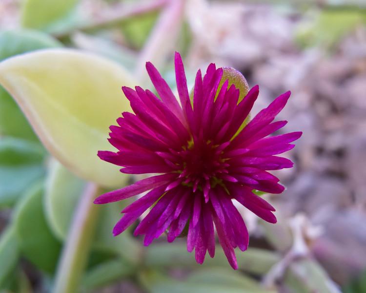 Aizoaceae:  Aptenia cordifolia 2011M 02  Ice plant, Aptenia cordifolia.  Also called heartleaf iceplant and baby sun rose. Native to:  Southern Africa  Matthaei Botanical Gardens Conservatory, Arid House. Ann Arbor, Michigan. Taken February 18, 2011
