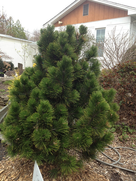Pinus leucodermis 'Emerald Arrow' 4-5'.JPG