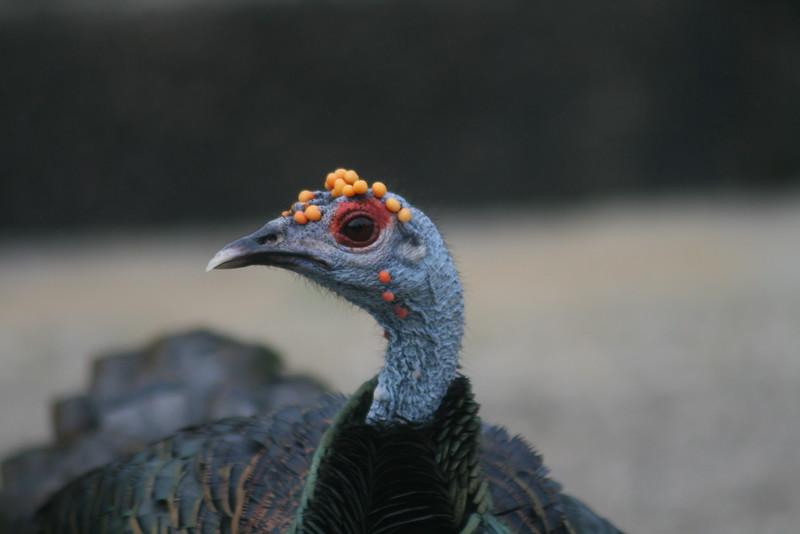 Oscellated Turkey
