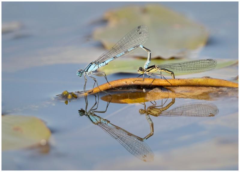 Common blue damselflies oviposting