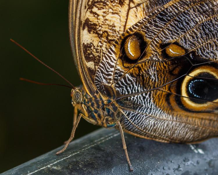 Owl Butterfly_7160.jpg