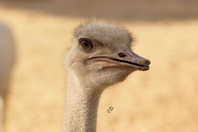 Ostriches, Emus, Rheas, Cassowaries