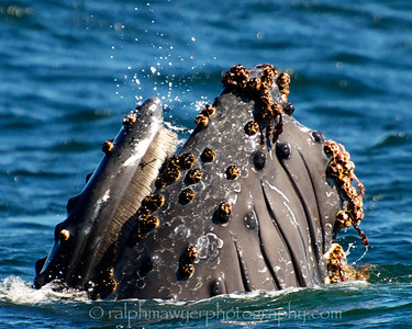 Whales - Humpbacks, Monterrey, California, 2010
