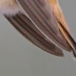 2008-12-01 Allen's Hummingbird Tails