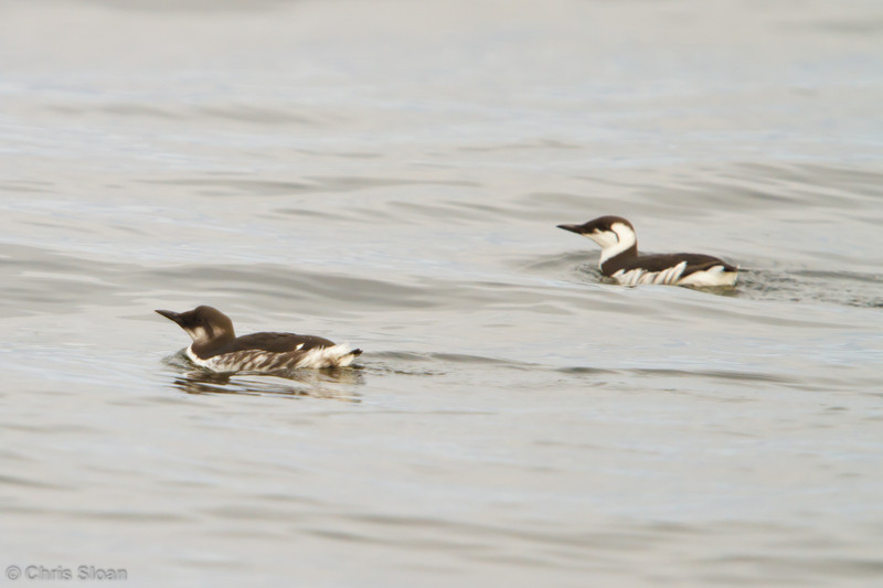 Common Murres at pelagic out of Bodega Bay, CA (10-15-2011) - 595.jpg