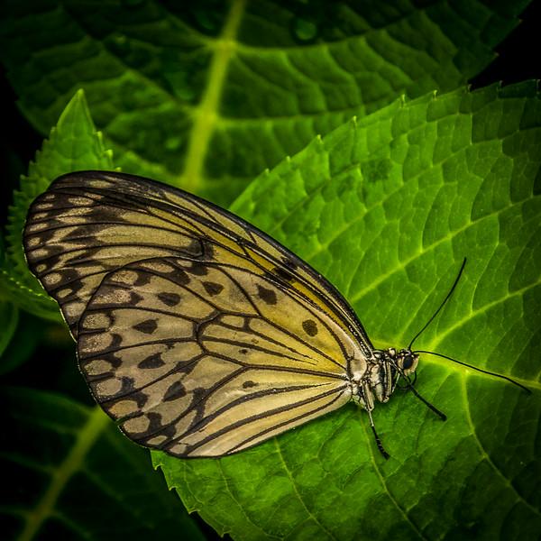 Lepidoptera 2, Newfoundland Insectarium - 8 August 2012 - 10x10, $60