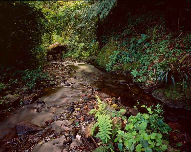 El Triunfo Biosphere Reserve, Chiapas, MEX / Ferns line streams in the dense forest understory of this cloud forest.  408H2