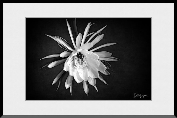 Framed Queen of the Night