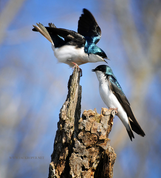 03 TREE SWALLOW HORICON.jpg