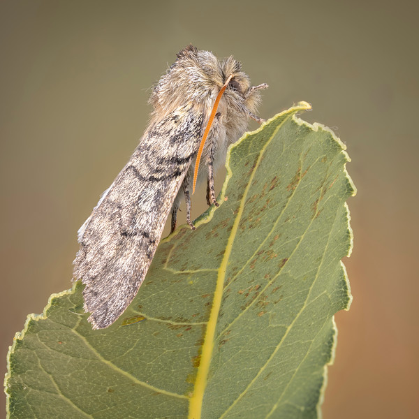 Yellow Horned moth
