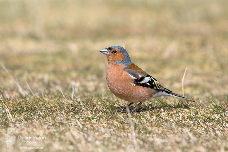 Common Chaffinch INT
