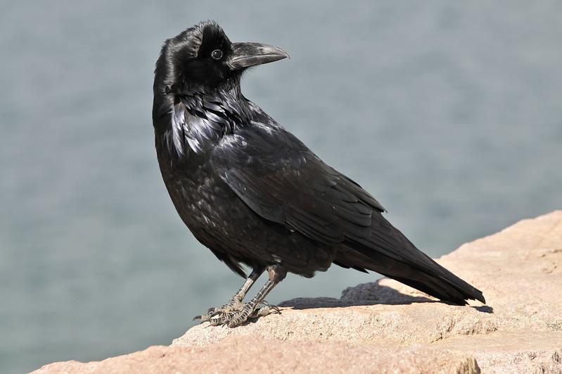 Raven, Yellowstone National Park.