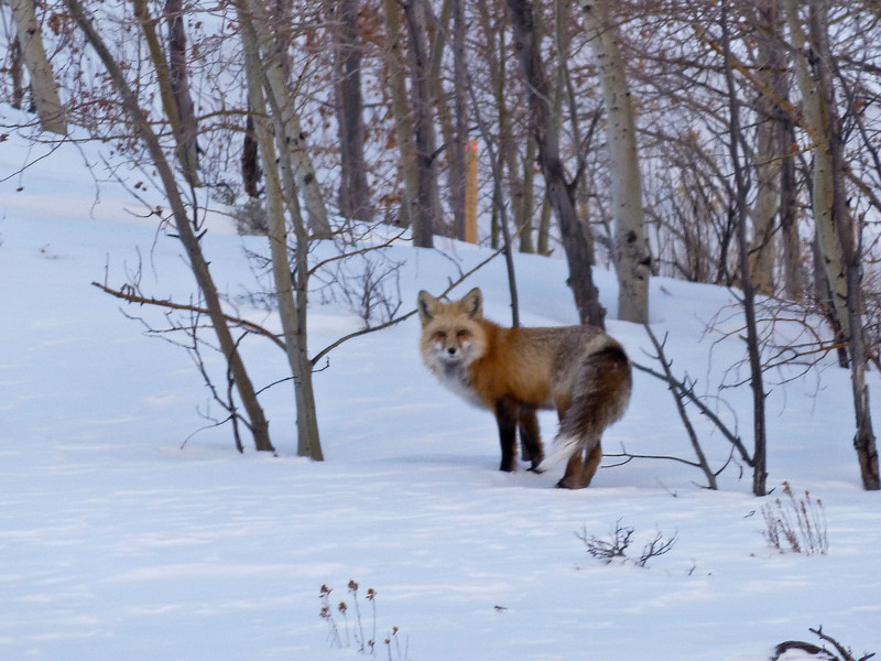 We saw a fox on the way home -- unfortunately I couldn't get it clear in low light and long zoom.