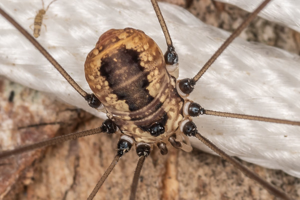 Leiobunum aldrichi (USA)