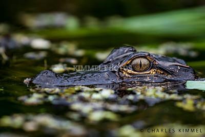 Alligators: 2019