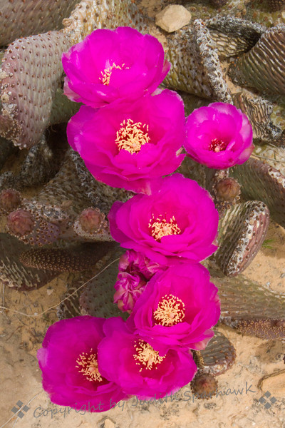 Cascade of Cactus Blooms ~ This cactus plant made an amazing display of its pink flowers.