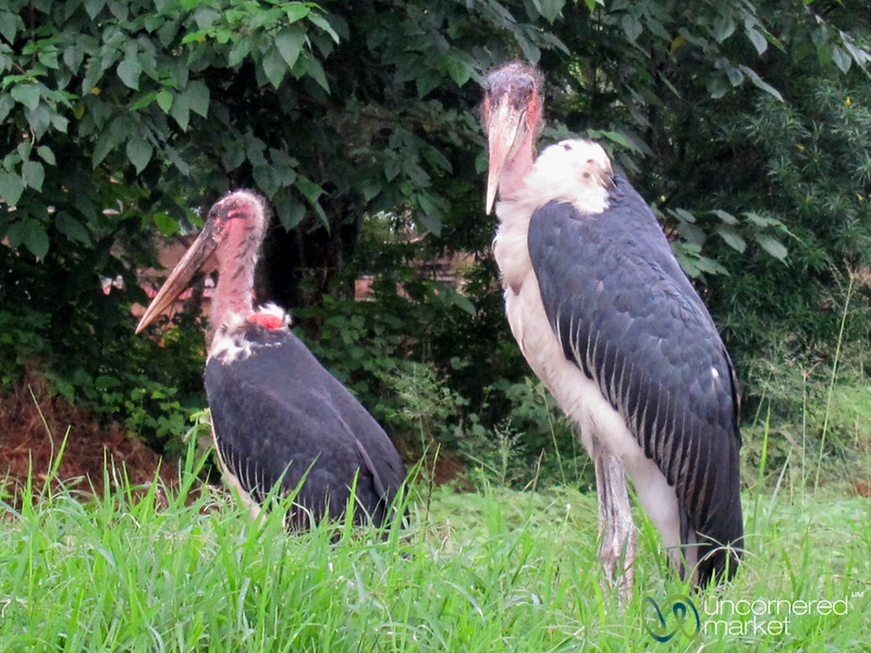 Marabou Storks - Uganda