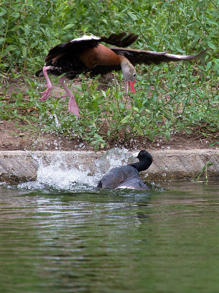 Black Bellied Whistler attacking an American Coot in Hermann Park