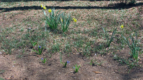 March 26:  The yard is blooming .  .  .