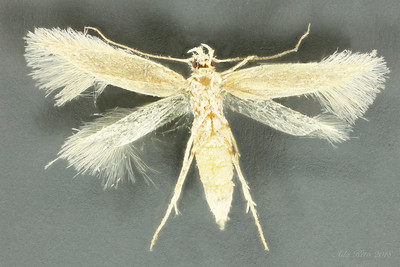 Gracillarioidea