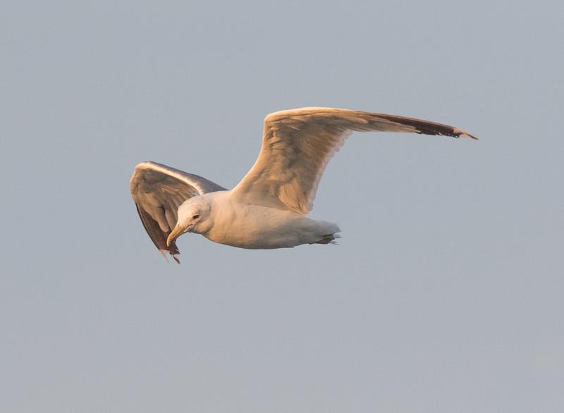 Caiffornia Gull Crowley Lake 2020 08 18-2.CR2