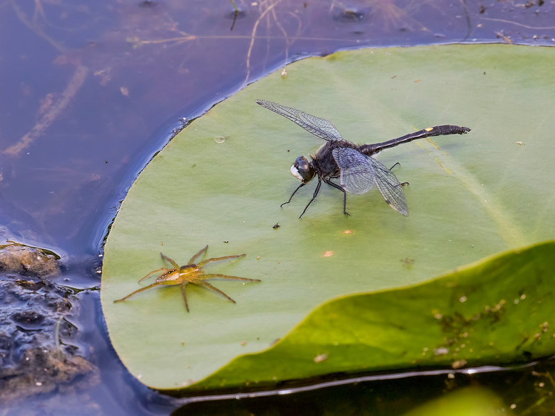 Male, Ten Acre Pond, Centre County, PA