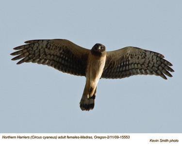 NorthernHarrierF15553.jpg