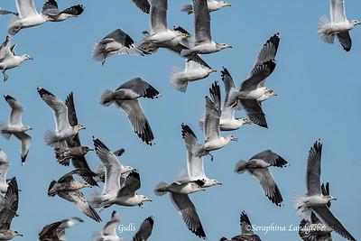 Gulls & Bobbies