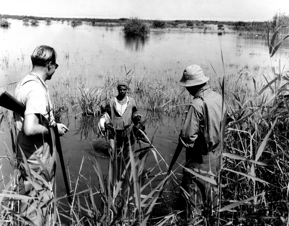 . 5-15-1950  The sun is too bright and the water too warm to use dogs in retrieving ducks in Egypt so Bedouin natives are used in retrievers. above, Wallace Taber (left), Denver post outdoor writer, and his host, Yahya Arif  Mardin Bey, Watch a native bring part of their bag.   Credit: Denver Post