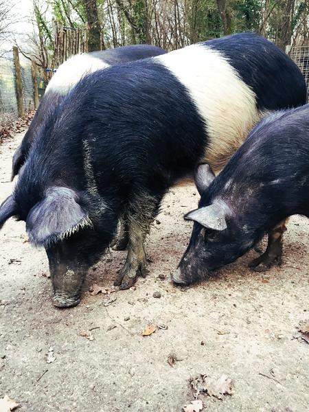 umbria roccafiore pigs 2.jpg