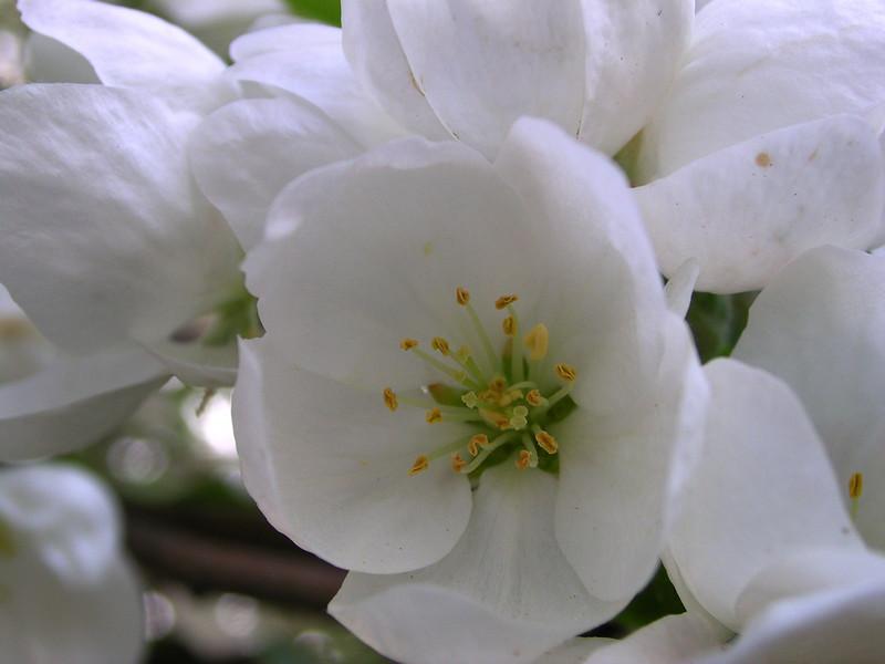 white bloom 27.JPG