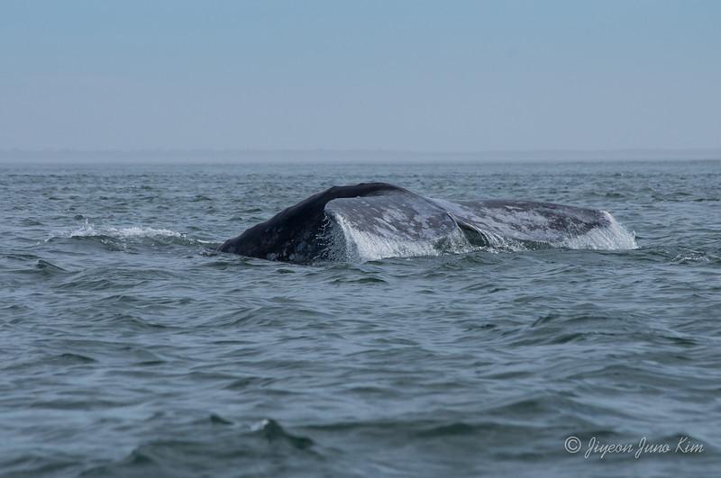 Mexico-Loreto-Whale-2396.jpg