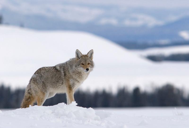 coyote002.jpg