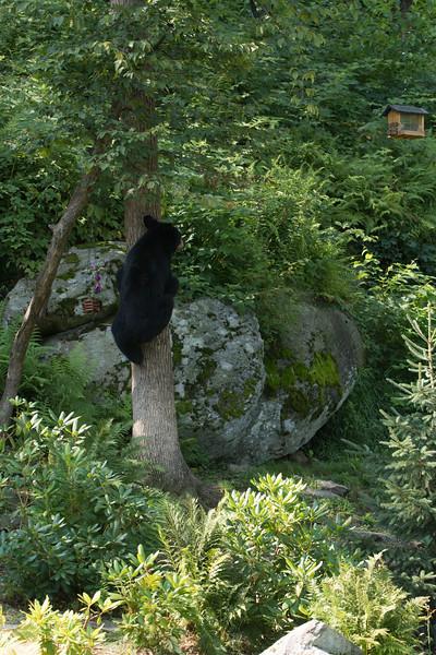 Bear in Yard (127 of 232).jpg