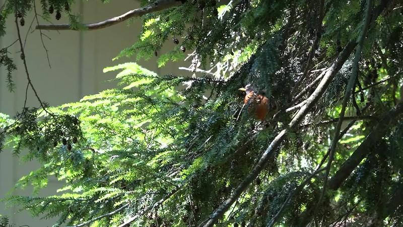 hummingbird robin.mp4
