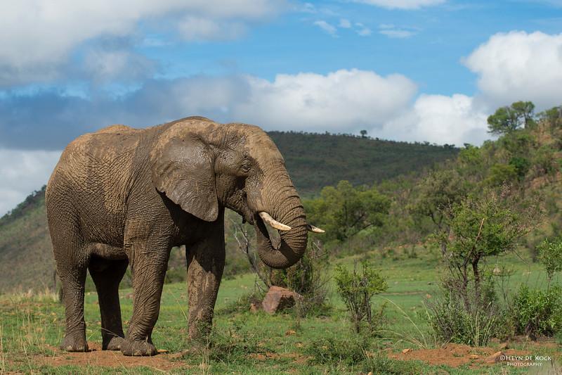 African Elephant, Pilansberg National Park, SA, Dec 2013-6 copy.jpg