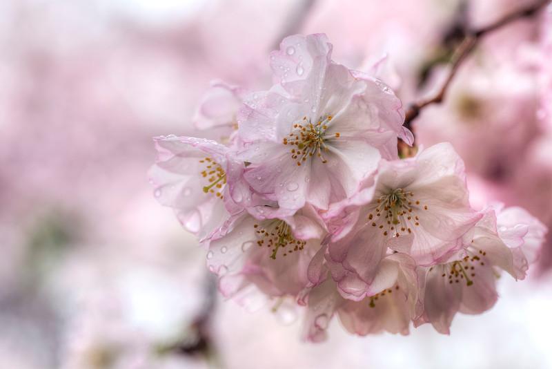 cherryblossom-drops.jpg