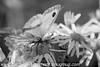 Gate Keeper - Pyronia tithonus (30)