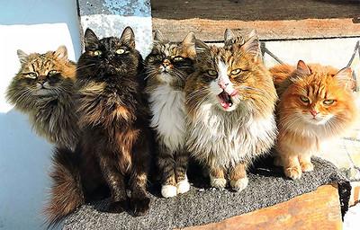 "Siberian ""Wild"" Cats"