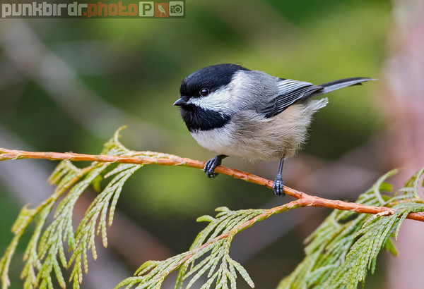 Chickadees, Titmice and Tits