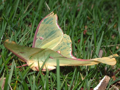 Luna Moth - Maryland