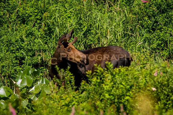 07/13/18 Bull Moose in Cataldo Idaho