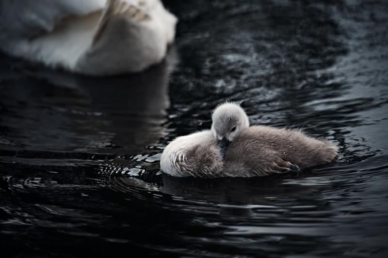 Swans_Of_Castletown014.jpg