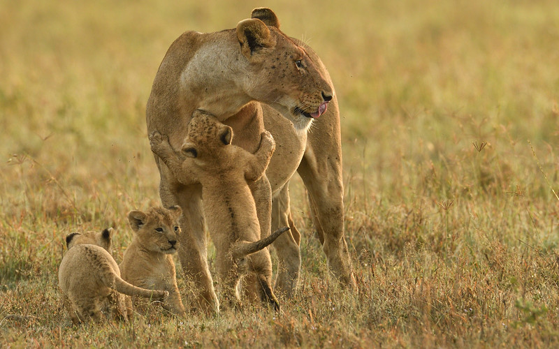 Hug-your-mother-lioness-cubs-masaimara.jpg
