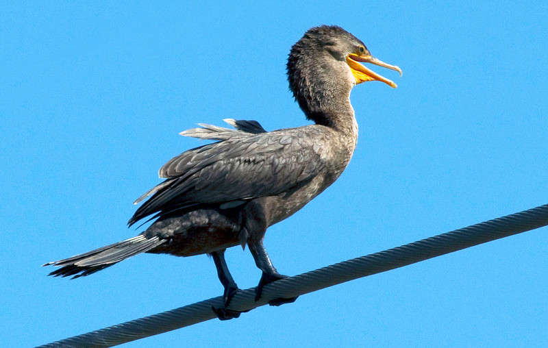 A windblown cormorant over Brays Bayou, Houston