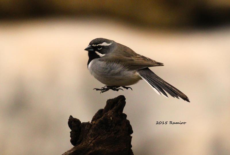 Black Throated Sparrow 3-22-15 109.jpg